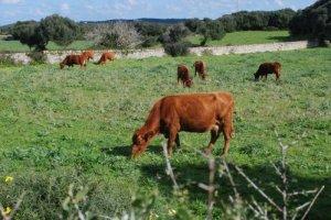 Vaques menorquines en règim extensiu